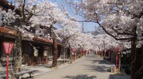 【岡山・鳥取県】新庄がいせん桜とっとり花回廊 イメージ