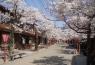 新庄がいせん桜ととっとり花回廊 出発決定! イメージ