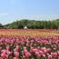 【広島県】世羅高原チューリップ祭と「八天堂カフェリエ」の旅 イメージ